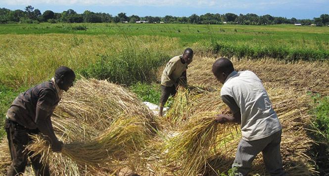 Threshing rice in Malawi