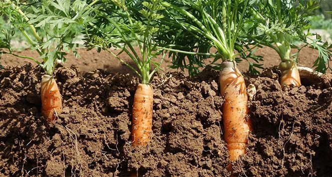 Carrots from the Organic Market Report