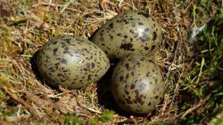 seagull eggs