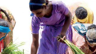 Rice growers